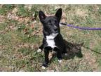Adopt Ridley a Black Border Collie / Husky / Mixed dog in McCall, ID (25289654)