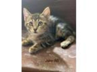 Adopt Jake a American Shorthair / Mixed cat in Whitestone, NY (25871926)
