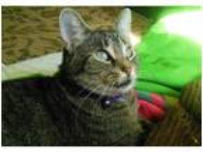 Adopt Felice a Domestic Shorthair / Mixed cat in Kalamazoo, MI (22807383)