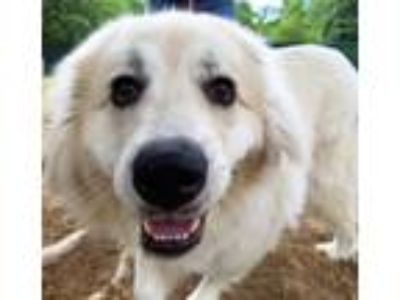Adopt Bridgette a Great Pyrenees
