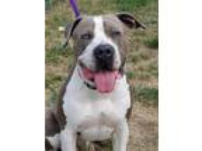 Adopt Mr. T a Pit Bull Terrier / Mixed dog in Newberg, OR (25784461)