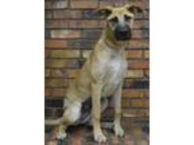 Adopt Benbrook~ Ella a German Shepherd Dog
