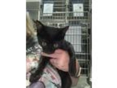 Adopt Breeze a Black (Mostly) Domestic Shorthair (short coat) cat in Henderson