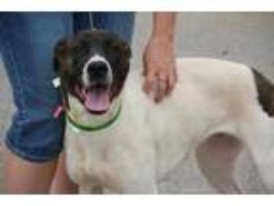 Adopt Midnight a White Labrador Retriever / Great Dane / Mixed dog in