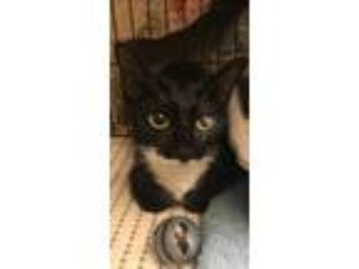 Adopt Marie a Black & White or Tuxedo American Shorthair / Mixed cat in