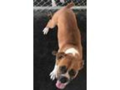 Adopt Jiggle a Tan/Yellow/Fawn Boxer / Mixed dog in Selma, CA (25536021)
