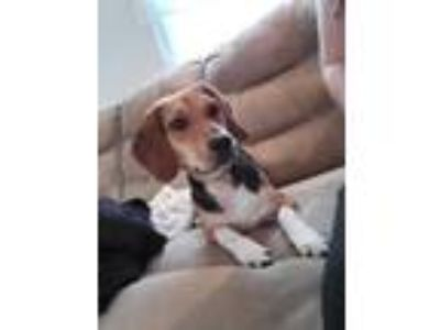 Adopt Hambone a Beagle / Mixed dog in Oak Bluffs, MA (25694363)