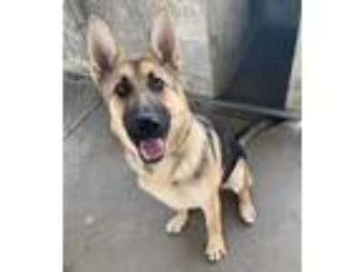 Adopt Lily a Tan/Yellow/Fawn - with Black German Shepherd Dog / Mixed dog in