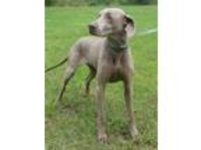 Adopt Carmel a Gray/Blue/Silver/Salt & Pepper Weimaraner / Mixed dog in Natchez