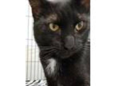 Adopt Ryan a All Black Domestic Longhair / Domestic Shorthair / Mixed cat in