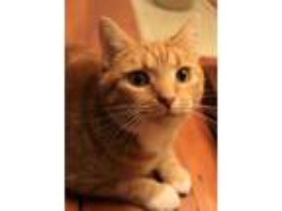 Adopt Sienna a Orange or Red Tabby Domestic Shorthair (short coat) cat in