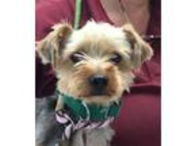 Adopt LALA a Yorkshire Terrier