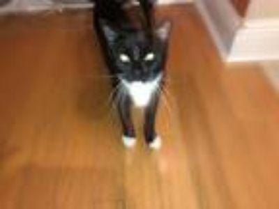 Adopt Coco a Black & White or Tuxedo Domestic Mediumhair cat in Saucier