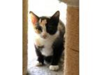 Adopt Lucy a Calico or Dilute Calico Calico (medium coat) cat in Bay Shore