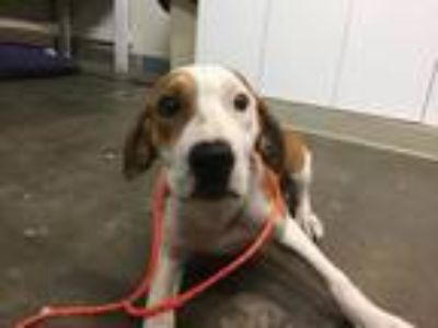 Adopt GOOSE a Hound, Mixed Breed