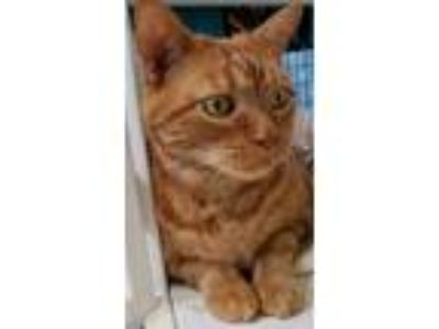 Adopt Elliott a Domestic Short Hair