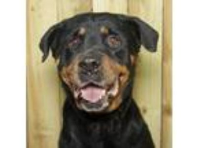 Adopt Sonja a Black - with Tan, Yellow or Fawn Rottweiler / Mixed dog in oakland