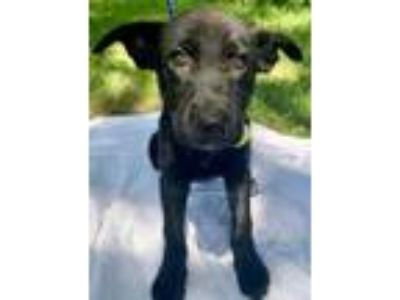 Adopt Ginny a Black German Shepherd Dog / Mixed dog in Chester Springs