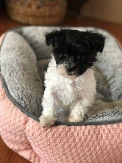 Schnoodle (Miniature)-Havamalt Mix PUPPY FOR SALE ADN-94045 - Tiny puppies for sale