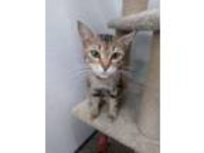 Adopt Lissie a Domestic Short Hair, Tabby
