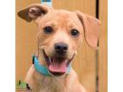 Adopt Nugget a Tan/Yellow/Fawn Labrador Retriever / Terrier (Unknown Type
