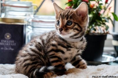 Wonderful Bengal kittens available