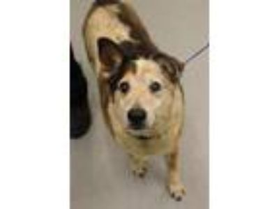 Adopt Porkie a Cattle Dog, Mixed Breed