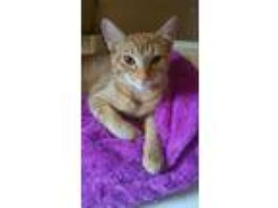 Adopt Chester a Domestic Short Hair