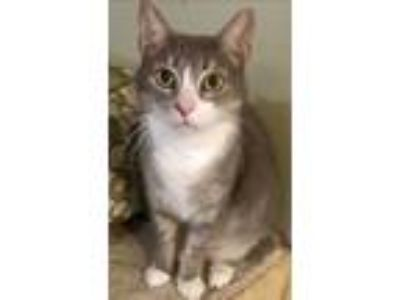Adopt Sweetie Pie a Domestic Short Hair
