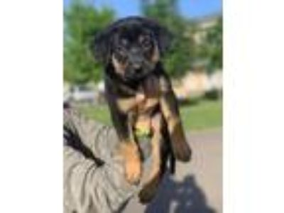 Adopt Rock and Roll a Labrador Retriever, Rottweiler