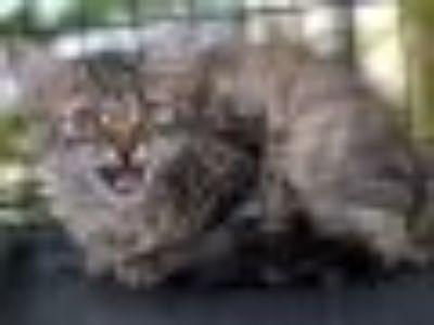 River Domestic Medium Hair Cat