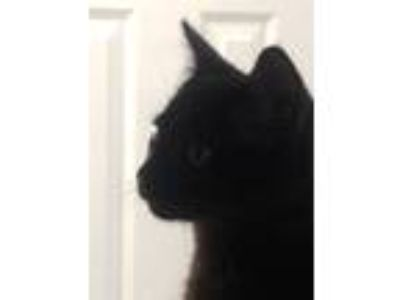 "Adopt "" Knight "" a All Black Bombay (short coat) cat in Scottsburg"