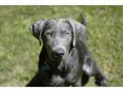 Adopt Charming a Gray/Blue/Silver/Salt & Pepper Labrador Retriever / Mixed dog
