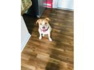 Adopt Sparky a White - with Tan, Yellow or Fawn Pit Bull Terrier / Labrador