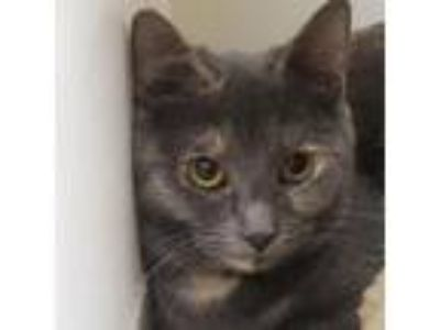 Adopt Rice a Domestic Short Hair