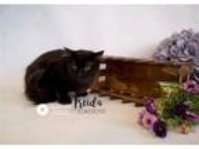 Adopt Pen 38c a Domestic Short Hair