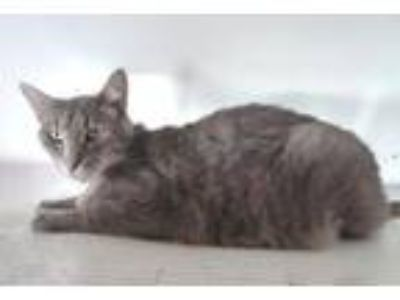 Adopt Teddy Blue a Domestic Short Hair, Tabby