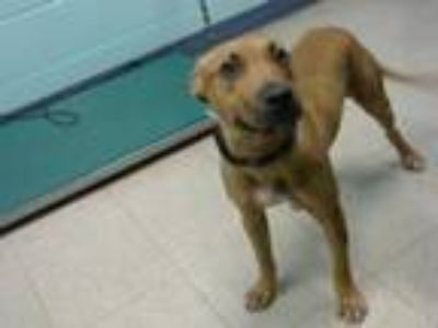 Adopt JORDY a Black Mouth Cur