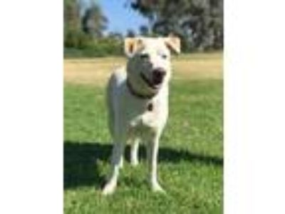 Adopt Angel a Carolina Dog / Mixed dog in Rancho Santa Margarita, CA (25140664)