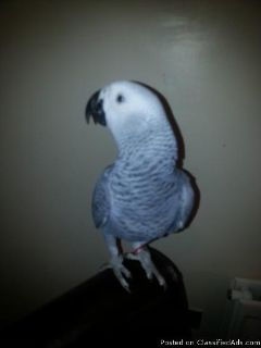 African Grey Parrot for Sale With Cage And Toys