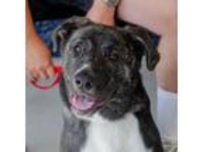 Adopt Todd a Black Hound (Unknown Type) / Mixed dog in Greenwood, SC (25882647)