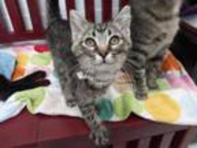 Adopt Galadriel a Domestic Short Hair