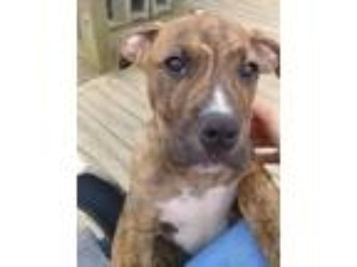 Adopt Miles a Brindle - with White Pit Bull Terrier / Mixed dog in Germantown