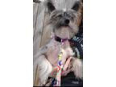 Adopt Fiona a Gray/Silver/Salt & Pepper - with White Chinese Crested / Mixed dog