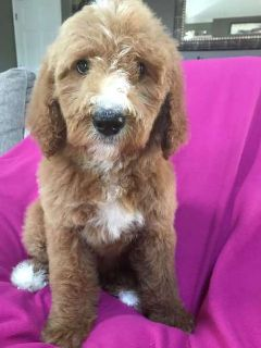 F1B Goldendoodles male and female
