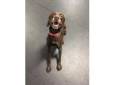 Adopt Hopper a German Shorthaired Pointer, Mixed Breed