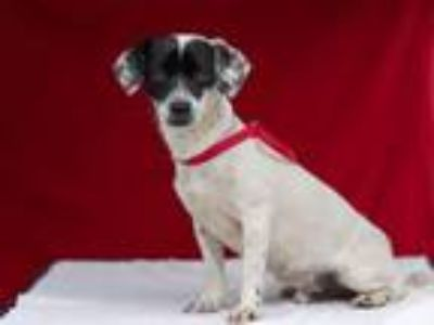 Adopt MAX a Terrier, Jack Russell Terrier