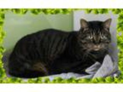 Adopt piper a Tiger Striped Domestic Shorthair (short coat) cat in Muskegon