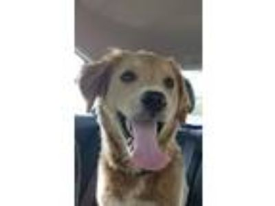 Adopt Lucky a Tan/Yellow/Fawn Golden Retriever / Mixed dog in Joliet