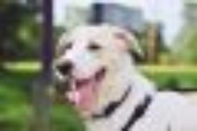 Roscoe Great Pyrenees - Shepherd Dog